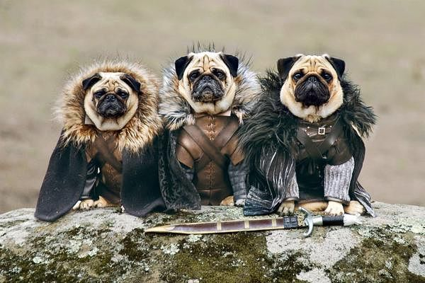 View joke - Game Of Thrones: A Storm Of Swords (Pugs Version)