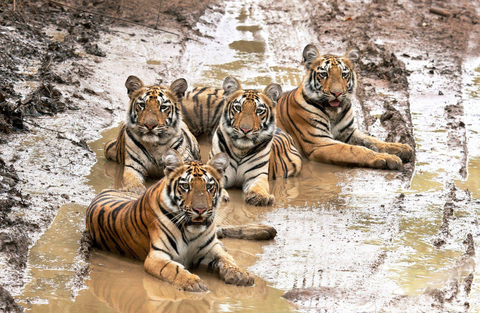 View joke - Even in the mud tigers stay elegant